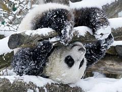 Панди не люблять сніговиків?