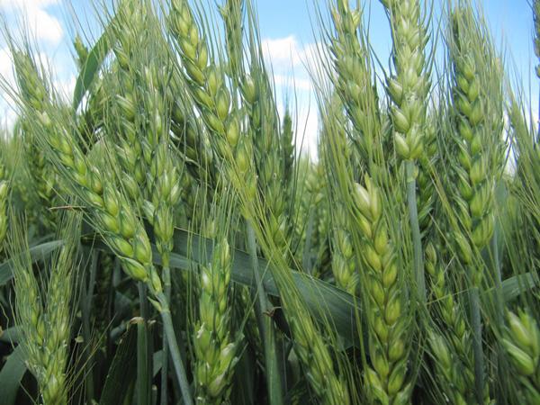 Система оптимального підживлення та якісного захисту від шкідників на посівах озимої пшениці